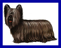 a well breed Skye Terrier dog